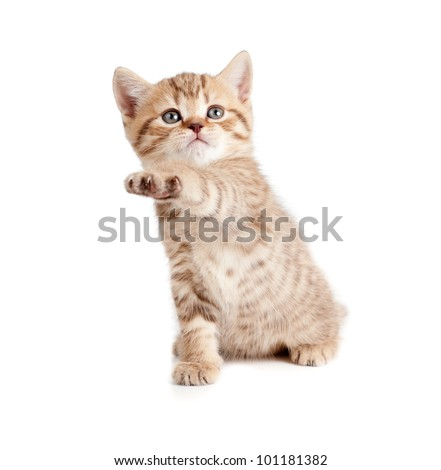 Scottish or british gray kitten gives paw - stock photo