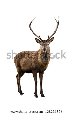 Scottish red deer stag isolated on white - stock photo