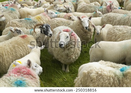 Scottish sheep marked with colors. Skye isle. Scotland. UK. Horizontal - stock photo