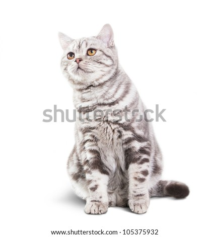 Scottish Shorthair cat sitting on white background - stock photo
