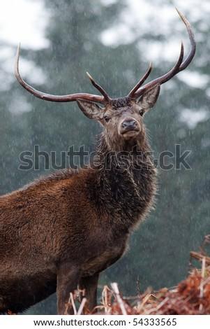 Scottish Stag - Scotland - stock photo