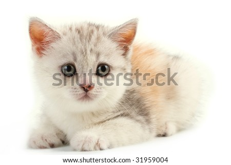 Scottish straight breed young pussycat lying on white background. No isolated.