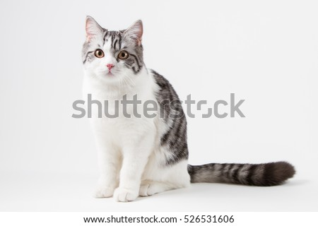 Scottish Straight cat bi-color, spotted, sitting against white background, 6 months old.