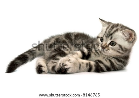 Scottish Straight Cats Plays on a white background - stock photo