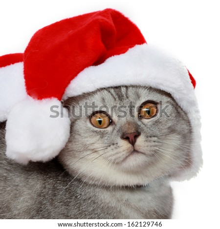 scottish-straight grey cat with a red christmas hat