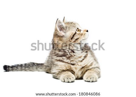 Scottish Straight  kitten lying isolated on white background