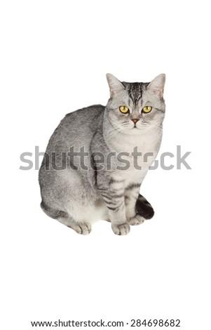 Scottish straight shorthair cat isolated on white background - stock photo