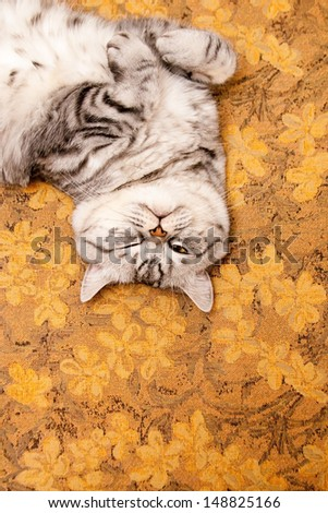 Scottish straight shorthair cat lying on the bed - stock photo