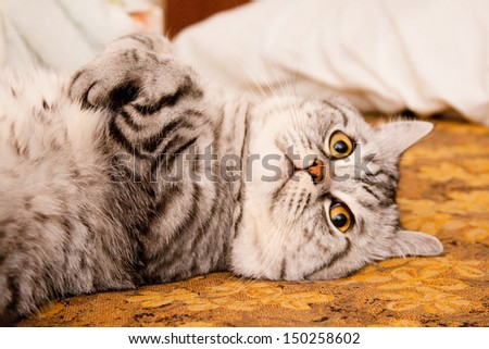 Scottish straight shorthair cat lying on the bed