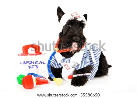Scottish Terrier in a nurse outfit on white background - stock photo