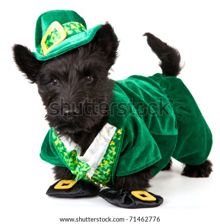 Scottish Terrier in Leprechaun outfit on white background - stock photo