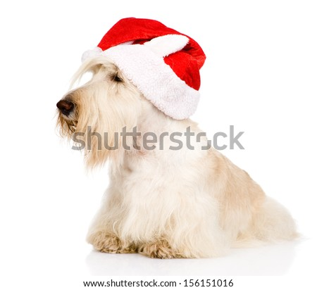Scottish Terrier in red christmas Santa hat. isolated on white background