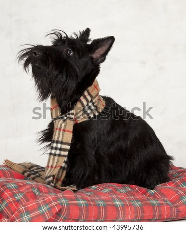 scottish terrier looking up at master - stock photo