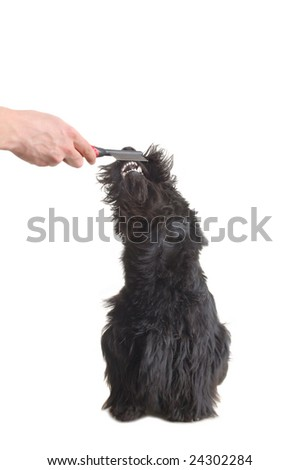 Scottish terrier puppy against white background. - stock photo
