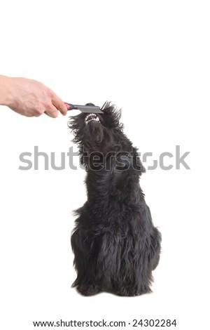 Scottish terrier puppy against white background. - stock photo