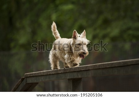 scottish terrier takes a boom - stock photo