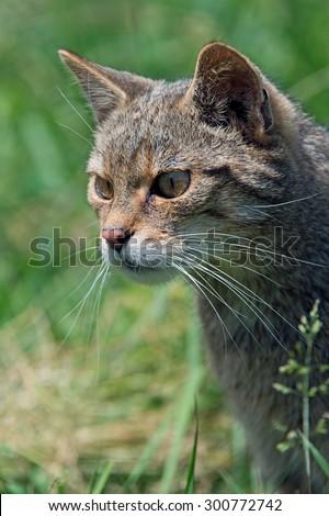 Scottish Wildcat prowling in long green grass/Scottish Wildcat/Scottish Wildcat (Felis Silvestris Grampia) - stock photo