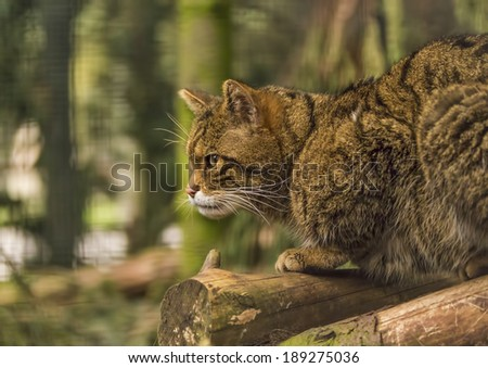 Scottish Wildcat. This is a true breed of the Scottish Wildcat at the Highland Wildlife Park, Kincraig, Scotland.
