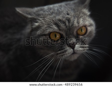 Scottish yellow-yed cat