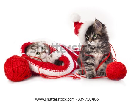 Scottish young kitten in a sock on a white background - stock photo