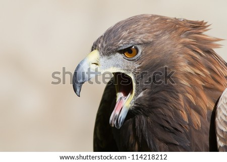 screaming golden eagle close up - stock photo