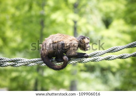 screaming monkey on a string - stock photo