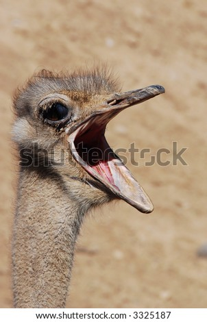 Screaming Ostrich - stock photo