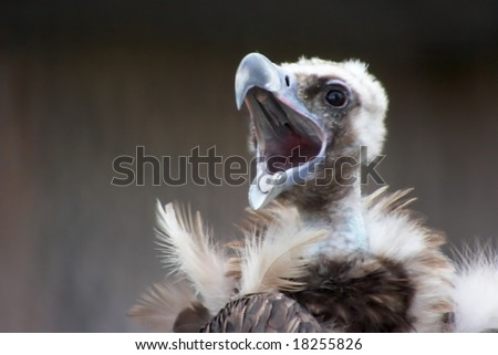Screaming vulture - stock photo