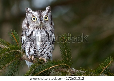 Screech Owl - stock photo