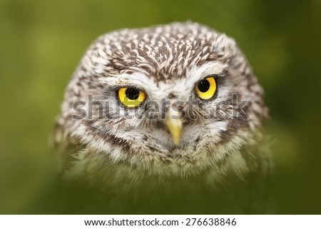 screech-owl in the green  - stock photo