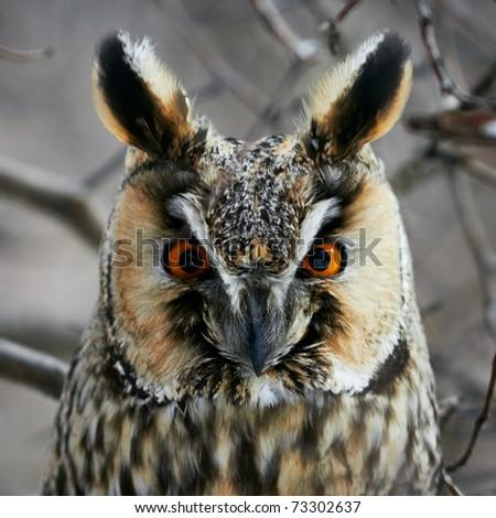Screech-owl portrait. Closeup shot in nature scenics. - stock photo