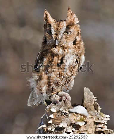 Screech Owl (Red Morph) - stock photo