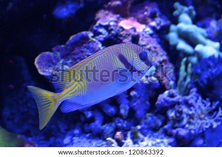 Scribbled Rabbitfish - stock photo