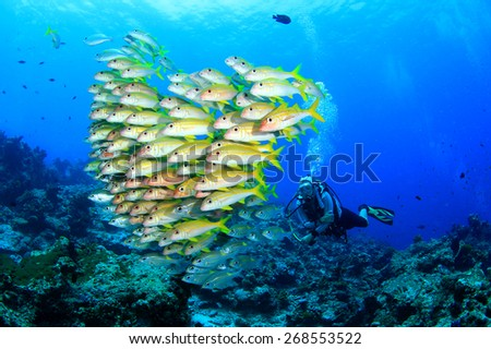 Scuba diver and school of fish (Yellowfin Goatfish) - stock photo