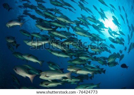 Scuba diver and schooling fish, Ras Mohammed, Egypt - stock photo