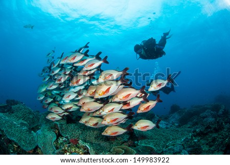 Scuba diver and shoal of fish - stock photo