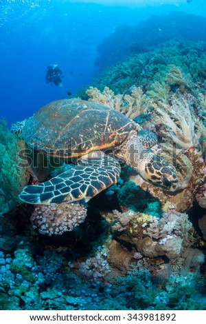 SCUBA diver and turtle in the sea - stock photo