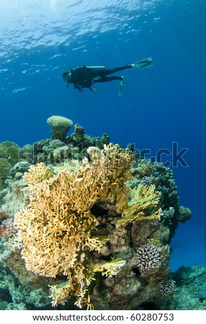 scuba diver and yellow coral - stock photo