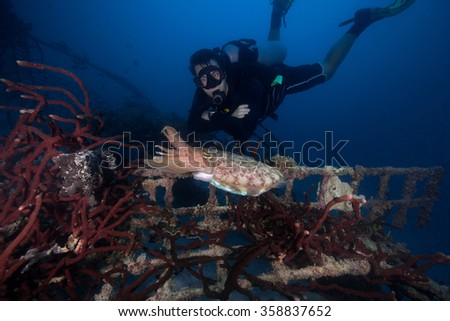 Scuba diver looking at a big cuttlefish at an artificial reef - stock photo