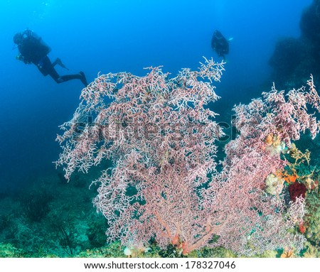 SCUBA divers swim over a pink coral deep underwater - stock photo