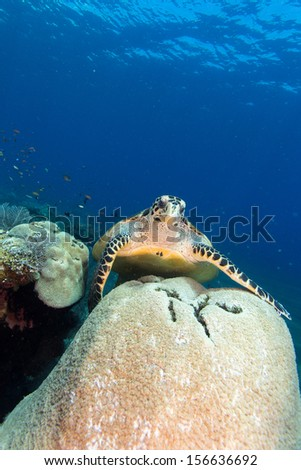 Scuba diving in bali indonesia with turtle - stock photo