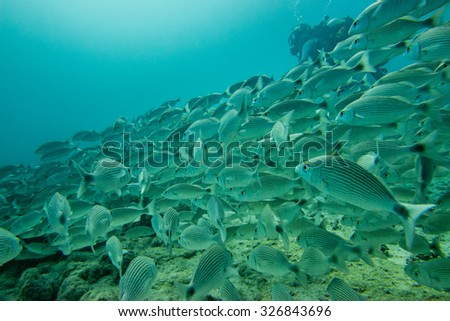 Scuba while going Inside a giant sardines school of fish in the reef and blue sea - stock photo