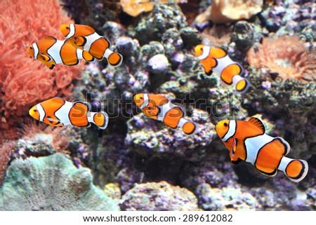 Sea anemone and clown fish in marine aquarium - stock photo
