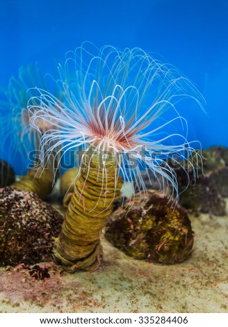 Sea anemone (anemone) with white tentacles in the aquarium. National Oceanographic Museum of Vietnam Nha Trang - stock photo