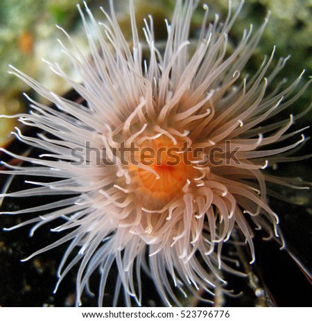 Sea Anemone In The Pacific Northwest