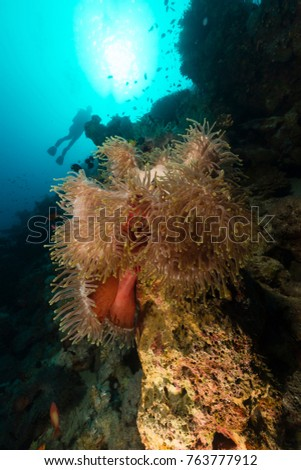 sea anemone in the red sea