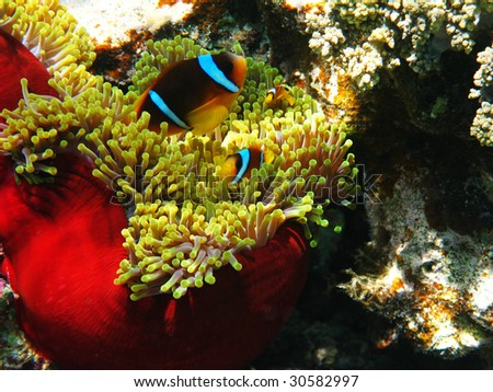 Sea anemones and two-banded clownfishes
