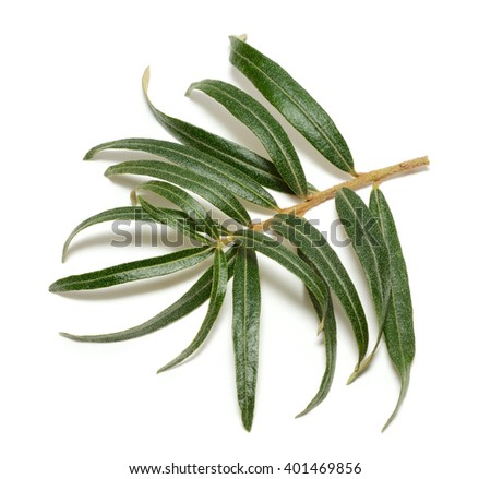 Sea buckthorn branch isolated on white background - stock photo