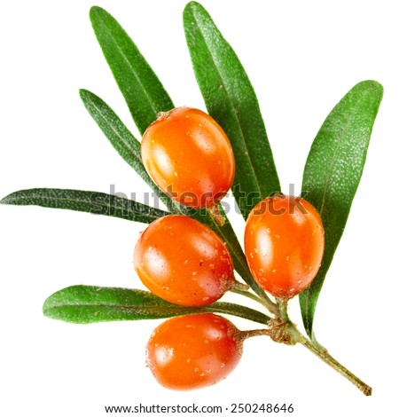 Sea buckthorn branch with berries isolated on white background - stock photo
