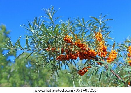 Sea-buckthorn branches with fruits against the sky - stock photo